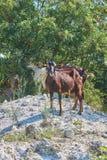 Cabras de Grama-Fed no pasto fotografia de stock
