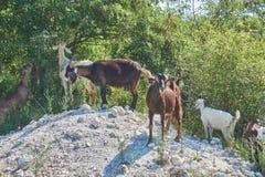 Cabras de Grama-Fed no pasto imagens de stock royalty free