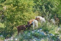 Cabras de Grama-Fed no pasto fotografia de stock royalty free