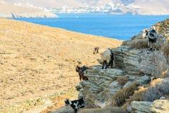 Cabras de itinerancia libres Fotografía de archivo