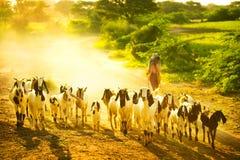 Cabras de la manada Imagen de archivo libre de regalías