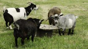 Cabras de la mesa redonda Fotografía de archivo