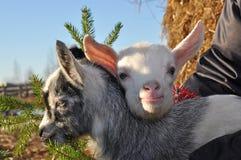 Cabras de la Navidad Imagen de archivo libre de regalías