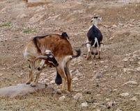 Cabras de Majorera nativas a Fuerteventura Imagen de archivo