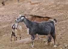 Cabras de Majorera nativas a Fuerteventura en España Imagen de archivo