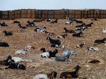 Cabras de Majorera nativas a Fuerteventura na Espanha Fotografia de Stock Royalty Free