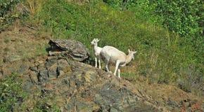 Cabras de montaña Fotos de archivo