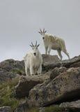 Cabras de montaña Imagen de archivo