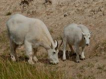 Cabras de montaña. Imagenes de archivo