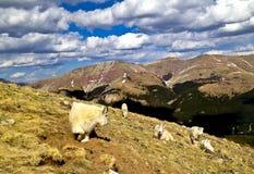 Cabras de montaña Imagen de archivo libre de regalías
