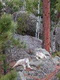 Cabras de montaña Imágenes de archivo libres de regalías