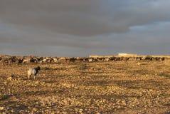 Cabras de montaña Fotos de archivo libres de regalías