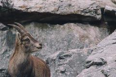 Cabras de montaña Imagenes de archivo