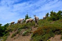 Cabras de montaña fotografía de archivo libre de regalías