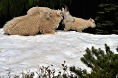 Cabras de montaña Foto de archivo libre de regalías
