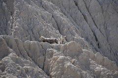 Cabras de montaña - adulto con los jóvenes curiosos que miran abajo Fotografía de archivo libre de regalías