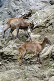 Cabras de montaña, animales amistosos en el parque zoológico de Praga Fotos de archivo libres de regalías