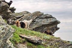 Cabras de montaña contra la perspectiva de la roca Fotos de archivo libres de regalías