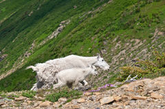 Cabras de montaña de la niñera y del cabrito Imágenes de archivo libres de regalías