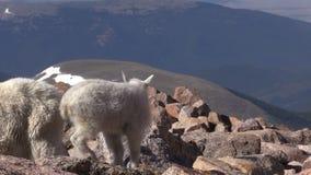 Cabras de montaña en el alpestre almacen de metraje de vídeo