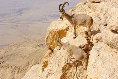 Cabras de montaña en el Makhtesh Ramón Fotos de archivo libres de regalías