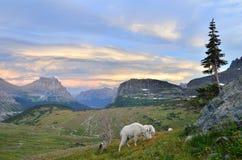 Cabras de montaña en el paso de Logan, parque del glaciar Imagen de archivo libre de regalías