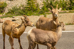 Cabras de montaña en Jasper National Park Imagen de archivo