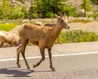 Cabras de montaña en Jasper National Park Foto de archivo
