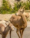 Cabras de montaña en Jasper National Park Imagenes de archivo