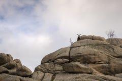 Cabras de montaña en la cima de la montaña Fotografía de archivo libre de regalías