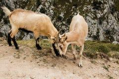 Cabras de montaña en las montañas Imagenes de archivo