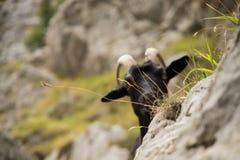 Cabras de montaña en las montañas Fotografía de archivo