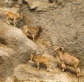 Cabras de montaña en un acantilado Fotografía de archivo libre de regalías