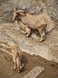 Cabras de montaña en un acantilado Fotos de archivo