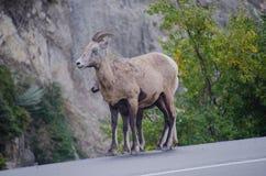 Cabras de montaña - Jasper National Park Fotos de archivo