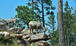 Cabras de montaña poderosas Imagenes de archivo