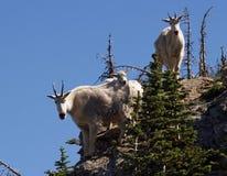 Cabras de montaña que me controlan hacia fuera fotografía de archivo
