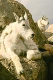 Cabras de montaña que se relajan en Mt. Evans Foto de archivo libre de regalías