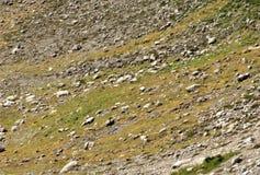 Cabras de montaña que viven en una cuesta alpina Imagen de archivo libre de regalías