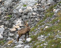 Cabras de montaña salvajes Imagen de archivo