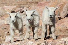 Cabras de montaña salvajes del Colorado Rocky Mountains Fotografía de archivo