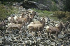 Cabras de montaña salvajes, Denver, CO Fotos de archivo libres de regalías
