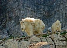 Cabras de montanha Imagens de Stock