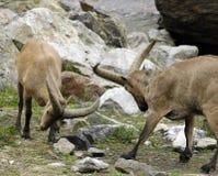 Cabras de montanha Foto de Stock