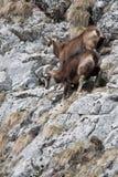 Cabras de montanha Fotografia de Stock Royalty Free