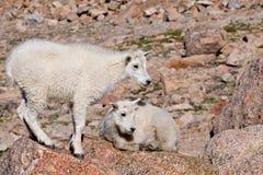 Cabras de montanha 2 do bebê fotografia de stock