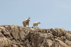 Cabras de montanha Imagens de Stock Royalty Free