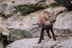 Cabras de montanha Fotos de Stock