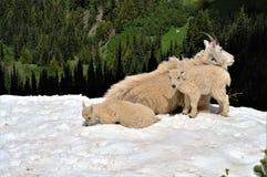 Cabras de montanha Imagem de Stock Royalty Free