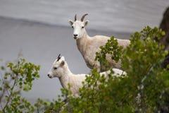 Cabras de montanha ao longo da estrada de Seward, Alaska Foto de Stock